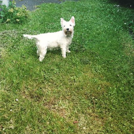 Freeeedom! #day40 #nano #terrier #westie