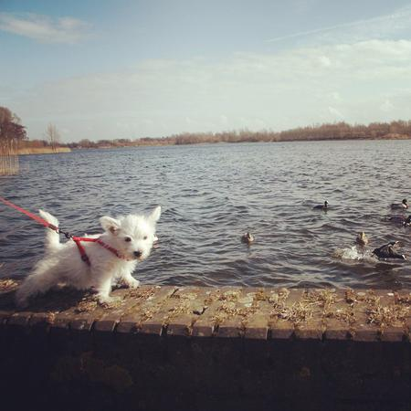 Looking through old photos #day60 #nano #terrier #westie #ducks