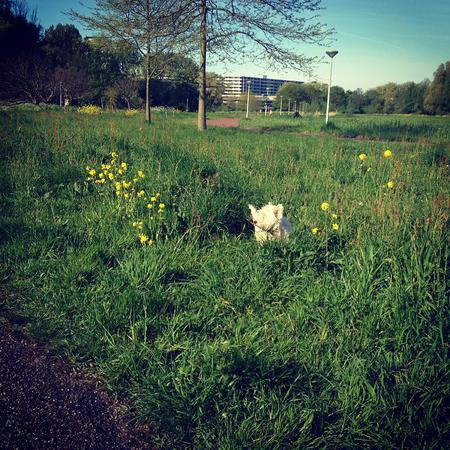 She doesn't play hide and seek very well. #day32 #nano #westie #terrier #dog